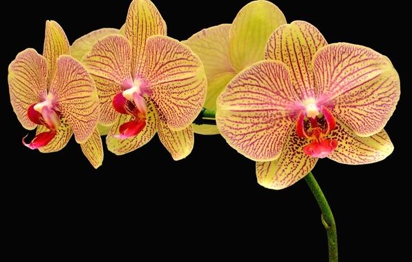 orhidei-cvety-lepestki-chernyy