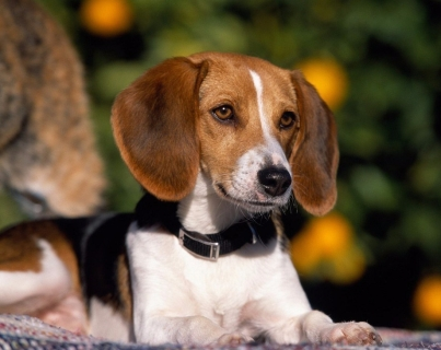 Beagle-Wallpaper-dogs-7013936-1024-768