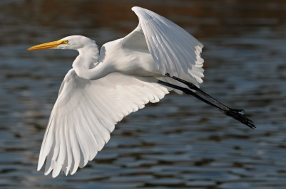 egret-nice-flight