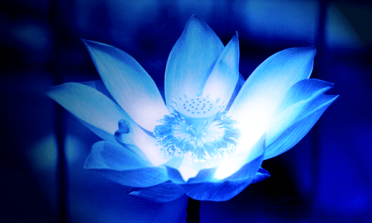 blue_glowing_flower_by_copyx.png