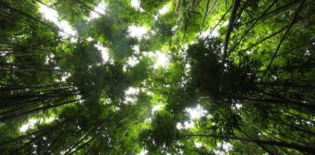 maui-bamboo-jungle-plants-wild.jpg